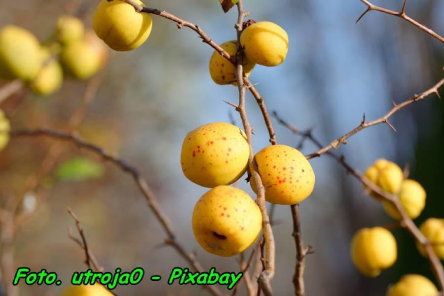Kiedy zbieramy owoce pigwowca japońskiego.