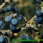 Nalewka z owoców tarniny ( słodka, deserowa ).