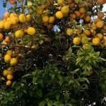 Miasto kwitnących pomarańczy