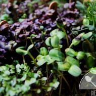 Sałatka z gruszką, serem pleśniowym, orzechami i mikro liśćmi (kiełkami)