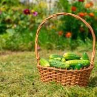 Uprawa ogórków na własny użytek we własnym warzywniaku