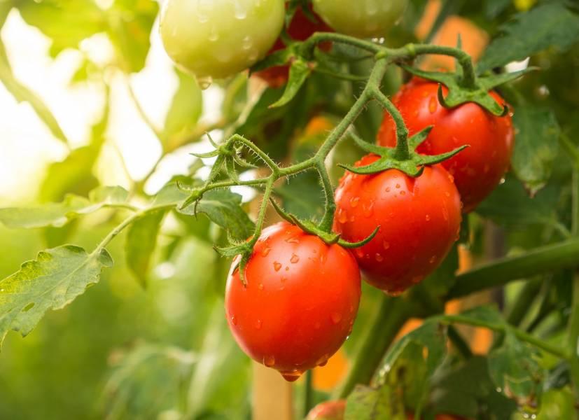 Sierpień na widelcu. Pomidory