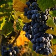 Winogrona. Właściwości, zastosowanie, ciekawostki